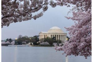 Cherry blossoms surround the Jefferson Memorial floodlit at dawn