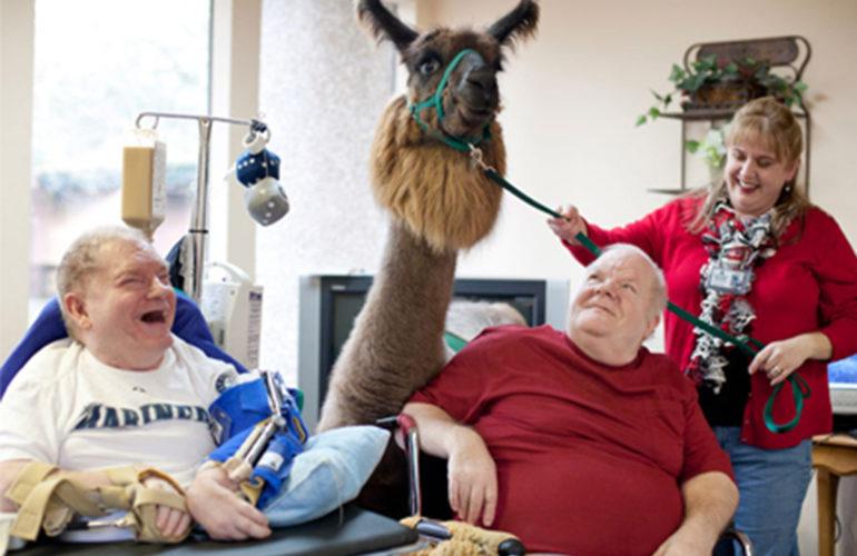 Therapy llamas bring joy to nursing home patients