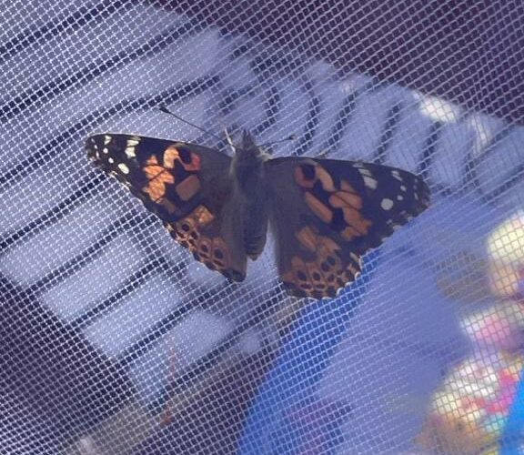 Butterflies released at Princess Alice Hospice